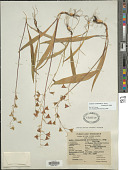view Anticlea occidentalis (A. Gray) Zomlefer & Judd digital asset number 1
