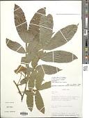 view Inga densiflora Benth. digital asset number 1