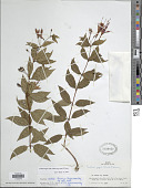 view Fuchsia regia subsp. reitzii P.E. Berry digital asset number 1