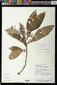 view Napeanthus bracteatus C.V. Morton digital asset number 1