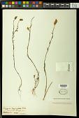 view Polygala hygrophila Kunth digital asset number 1