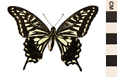 view Asian Swallowtail, Chinese Yellow Swallowtail digital asset number 1
