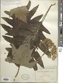 view Telanthophora copeyensis (Greenm.) H. Rob. & Brettell digital asset number 1