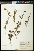 view Schweiggeria fruticosa Spreng. digital asset number 1