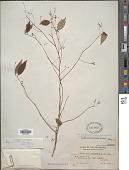 view Sabia parviflora subsp. philippinensis digital asset number 1