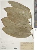 view Inocarpus fagifer (Parkinson) Fosberg digital asset number 1