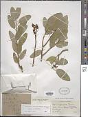 view Anisocapparis speciosa (Griseb.) Cornejo & Iltis digital asset number 1