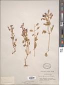 view Torenia fournieri Linden ex E. Fourn. digital asset number 1