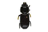 view Eastern Bess Beetle, Horned Passalus, Eastern Bess Beetle, Horned Passalus digital asset number 1