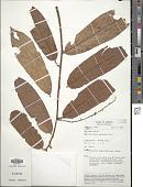 view Sarcotheca macrophylla Blume digital asset number 1