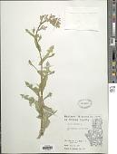 view Lactuca scariola digital asset number 1