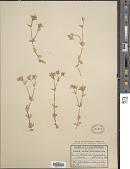 view Cerastium glomeratum Thuill. digital asset number 1