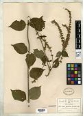 view Salvia igualensis Fernald digital asset number 1