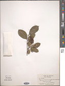view Aronia floribunda digital asset number 1