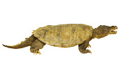 view Snapping Turtle digital asset number 1