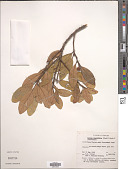 view Litsea ovalifolia (Wight) Trimen digital asset number 1