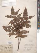 view Platycarya strobilacea Siebold & Zucc. digital asset number 1