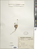view Bulbostylis paradoxa (Spreng.) Lindm. digital asset number 1