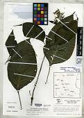 view Louteridium tamaulipense A.T. Richardson digital asset number 1