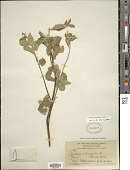 view Turnera subulata Sm. digital asset number 1