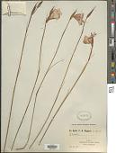 view Gladiolus sp. digital asset number 1