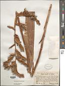 view Vriesea duidae (L.B. Sm.) Gouda digital asset number 1