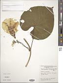 view Stictocardia tiliifolia (Desr.) Hallier f. digital asset number 1