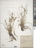 view Cyperus compressus L. digital asset number 1