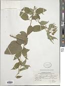 view Wedelia grandiflora Benth. digital asset number 1