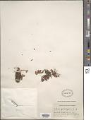 view Sedum spathulifolium Hook. digital asset number 1