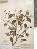 view Securidaca philippinensis Chodat digital asset number 1