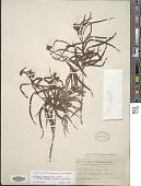 view Chilopsis linearis subsp. arcuata (Fosberg) Henrickson digital asset number 1