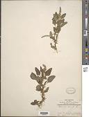view Amaranthus spinosus L. digital asset number 1