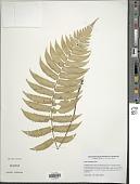 view Dryopteris atrata (Wall. ex Kunze) Ching digital asset number 1