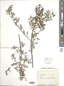 view Ambrosia artemisiifolia L. digital asset number 1