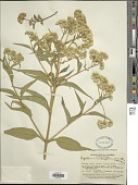 view Austroeupatorium inulaefolium var. suaveolens digital asset number 1