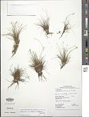 view Eleocharis canindeyuensis Mereles & S. González digital asset number 1
