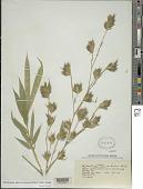 view Phyllostachys nigra var. henonis (Mitford) Stapf ex Rendle digital asset number 1