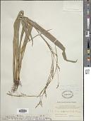 view Carex glossostigma Hand.-Mazz. digital asset number 1