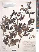 view Otacanthus tauberti digital asset number 1