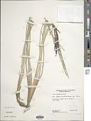 view Carex lemanniana Boott digital asset number 1