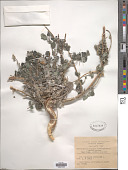 view Forskohlea tenacissima L. digital asset number 1