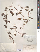 view Cissus trifoliata L. digital asset number 1