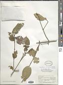 view Exostema caribaeum (Jacq.) Roem. & Schult. digital asset number 1