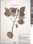 view Pipturus henryanus F. Br. digital asset number 1
