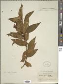 view Miconia lacera (Bonpl.) Naudin digital asset number 1