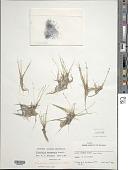 view Eleocharis bahamensis Boeckeler digital asset number 1