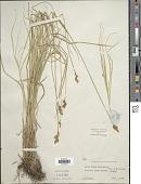 view Carex tracyi Mack. digital asset number 1