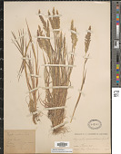 view Agrostis stolonifera L. digital asset number 1