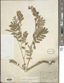 view Tephrosia nicaraguensis Oerst. digital asset number 1